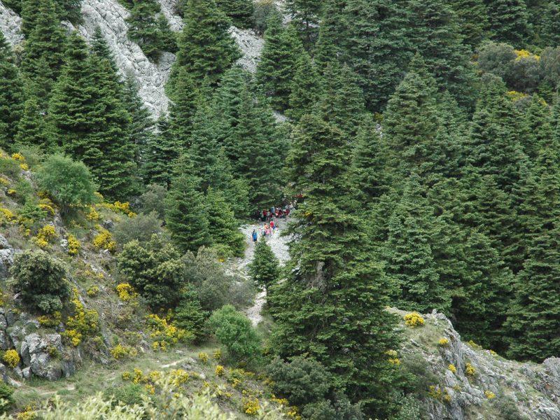 Pinsapos de Grazalema, rutas guiadas
