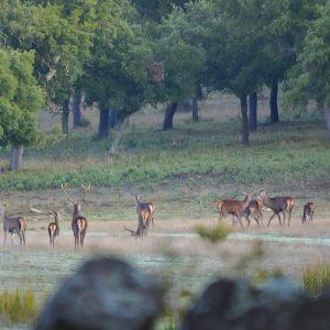 Berrea del Ciervo Sierra de Cádiz